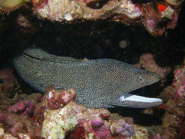 Snowflake Moray Eel Fish - Rays, Mantas and Eels Pinterest