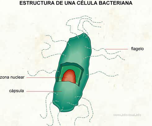 Streptococcus agalactiae - Wikipedia, la enciclopedia libre
