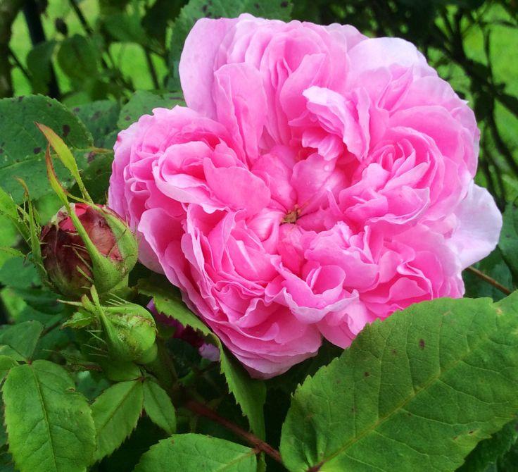 jacques cartier rose in my garden jardin pinterest. Black Bedroom Furniture Sets. Home Design Ideas