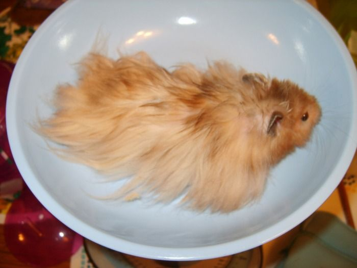 long haired syrian hamster, cinnamon. Although sometimes called Teddy