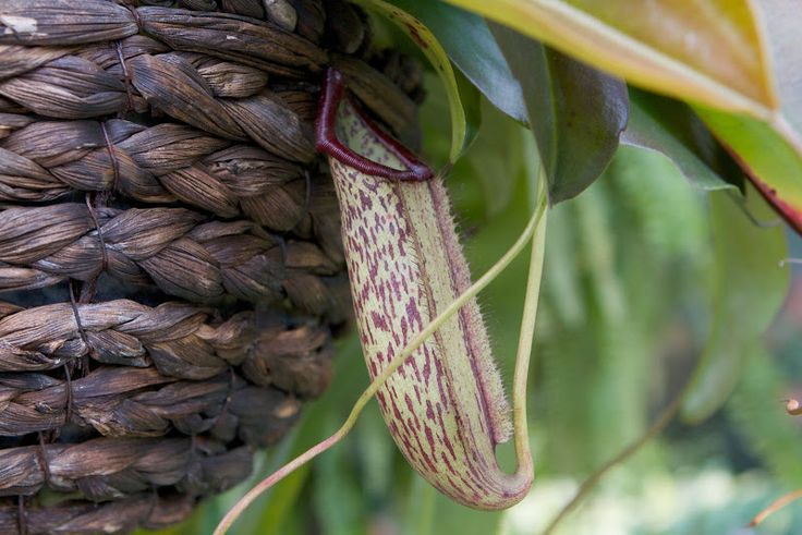 The most frequent prey for these pitchers are ants and other insects and occasionally small lizards.