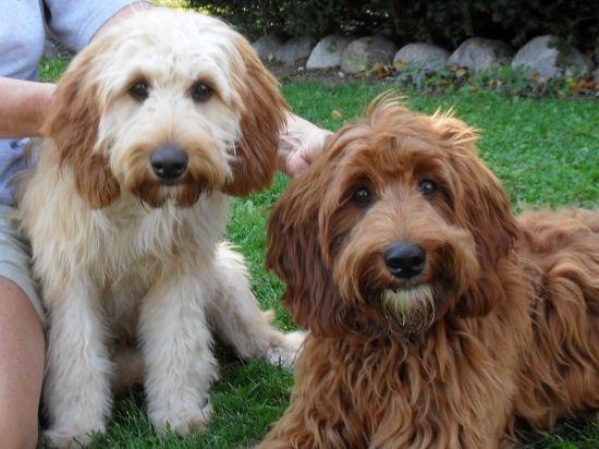 Irish Doodle Dogs