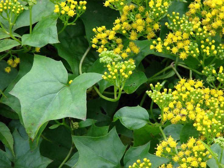 Delairea odorata - Cape Ivy | My House Plants | Pinterest