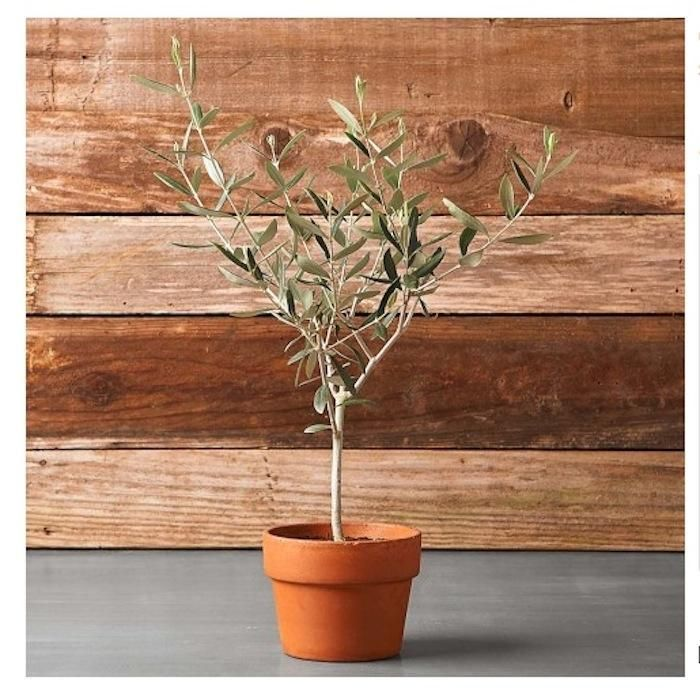 Indoor olive trees favorite places spaces pinterest for Growing olive tree indoors