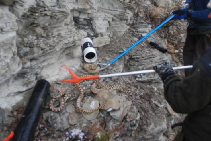 Snake trap snaking in montana pinterest