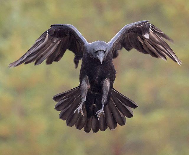 Raven bird wing