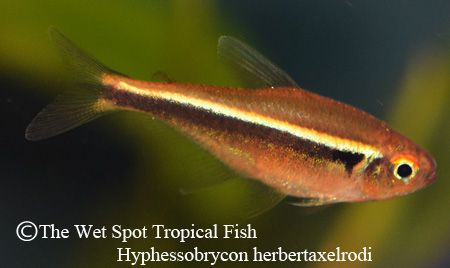 Pin by the wet spot tropical fish on freshwater fish for The wet spot tropical fish