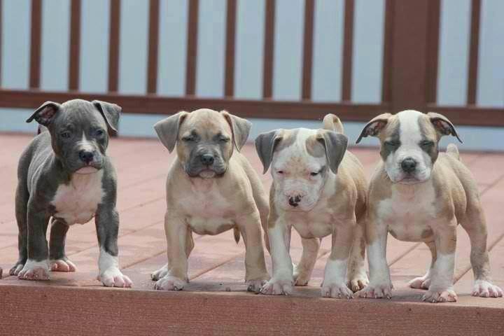 blue nose pitbull puppies   Baby Pits   Pinterest