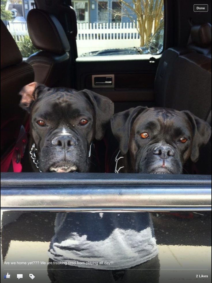 reverse sealed brindle boxers. | BOXERS & cute animals | Pinterest