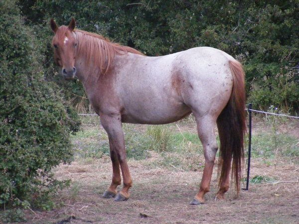 Strawberry Roan | Colours - Appaloosa Patterns | Pinterest - photo#1