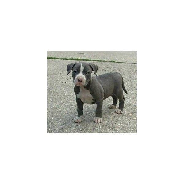 pitbull puppies | Tumblr ❤ liked on Polyvore