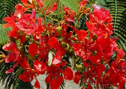Mimosa Rare Red Tree S...