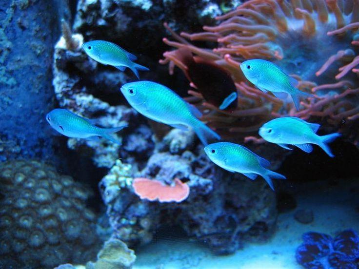 Blue chromis fish aquarium pinterest for Blue fish aquarium