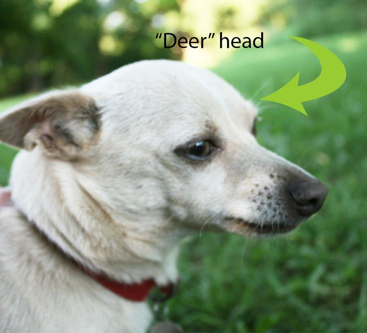 DEER HEAD CHIHUAHUA | Animals | Pinterest