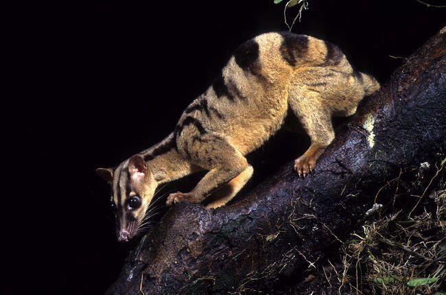 Owstons Palm Civet Ows...