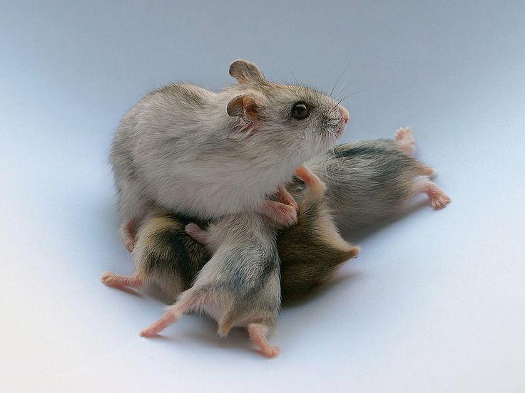 hamster winter