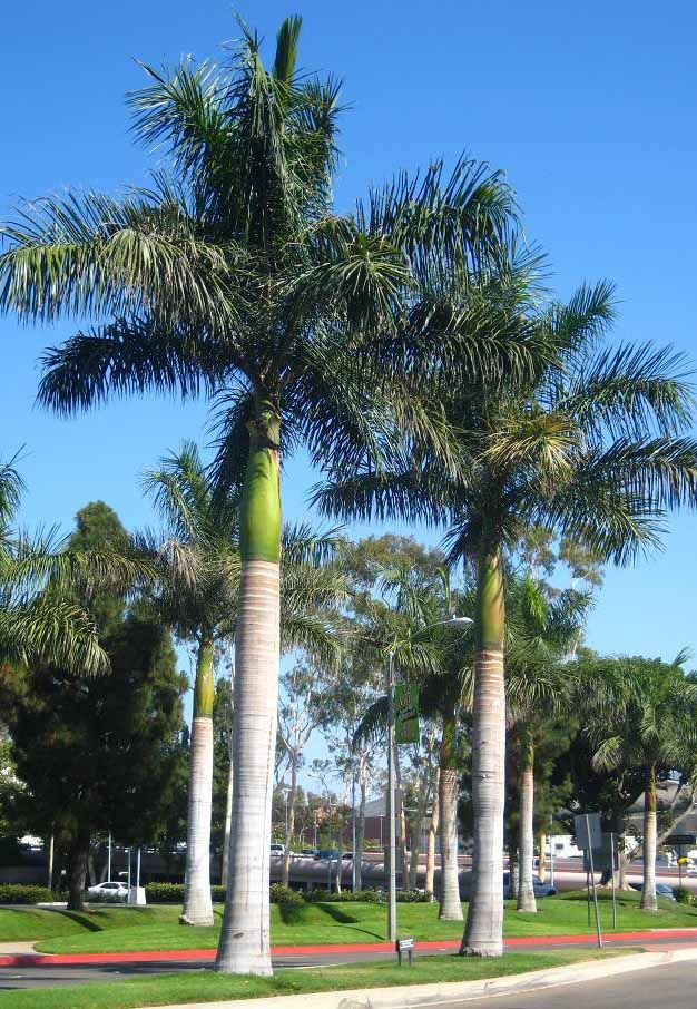 Cuban Royal Palm Trees Roystonea Regia All Things
