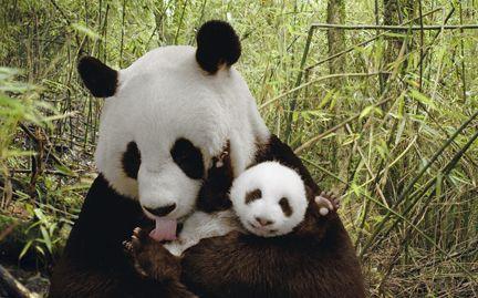Adopt a Panda - World Wildlife Fund (WWF)