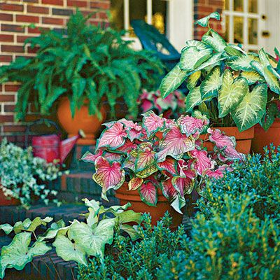 Caladiums   100 Container Gardening Ideas   Southern Living. Shade loving caladiums -- a good idea for the front or back porch! Contains a link on how to care for caladiums.