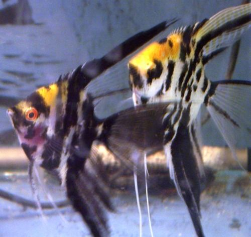 marble angelfish | My Fish Aquarium | Pinterest