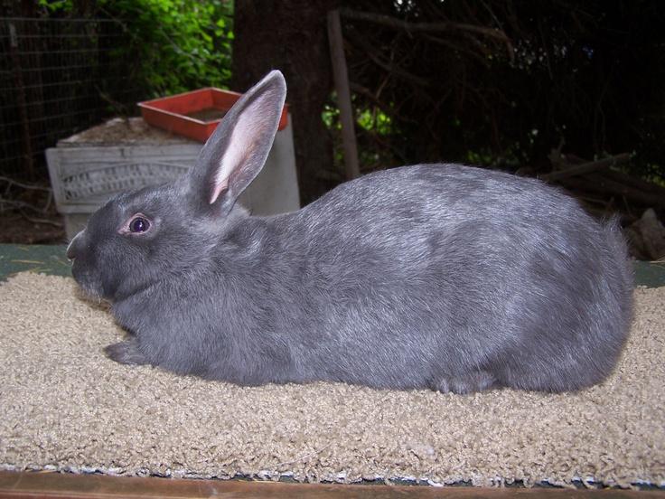 American Blue rabbit | opp | Pinterest