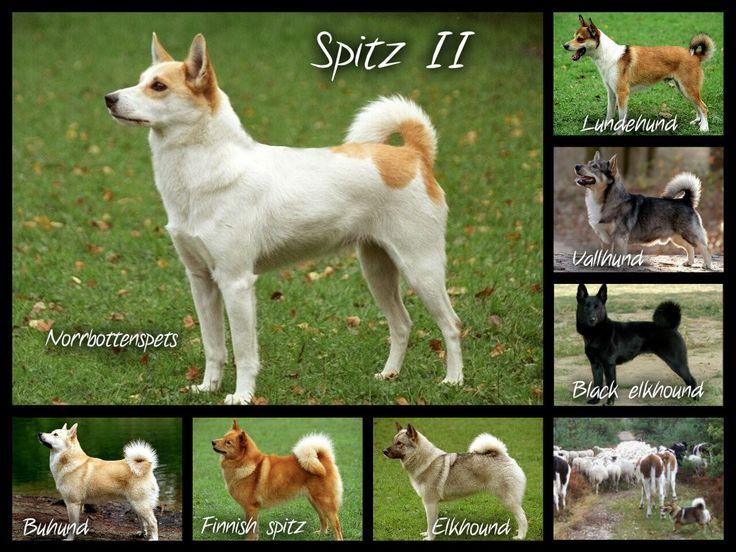 Help Me Pick Our New Dog Husky Akita Inu Shiba Inu