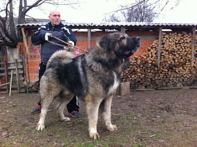 Giant Caucasian Shepherd Related Keywords - Giant ...