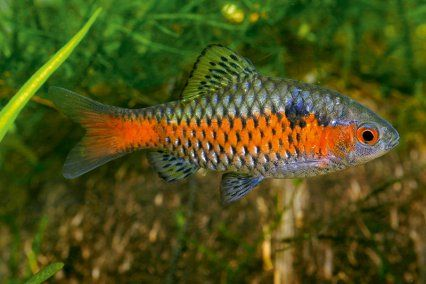 Odessa barb Fish I want to own someday Pinterest
