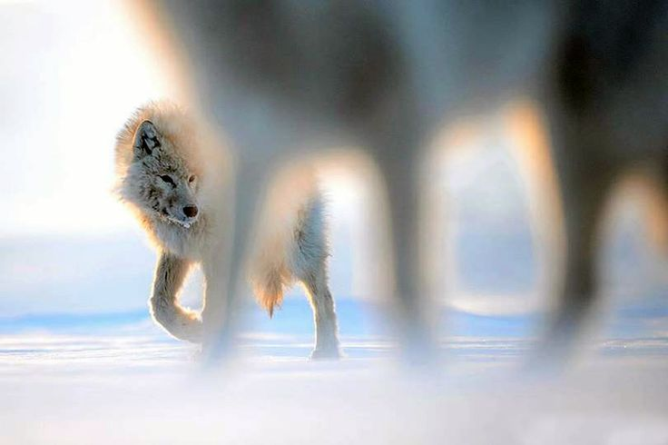 arctic wolf nunavut