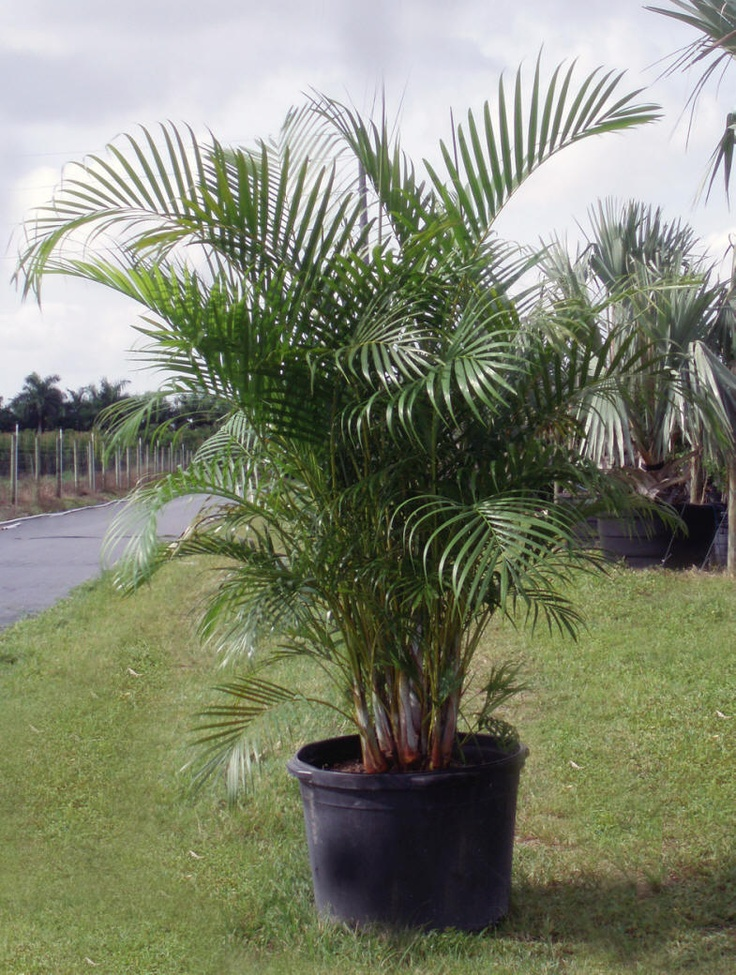 Areca palm tree pretty flowers plants trees pinterest for Pictures of areca palm plants