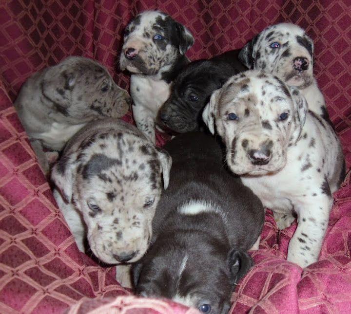 Pretty #Great #Dane Puppies