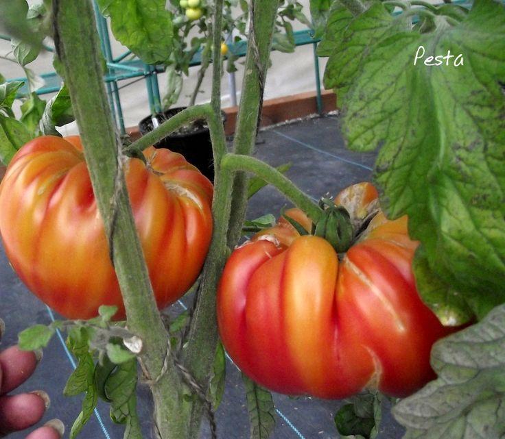 Pesta Heirloom Beefsteak TomatoHeirloom Beefsteak Tomato