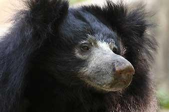 additional sos sloth bear baloo