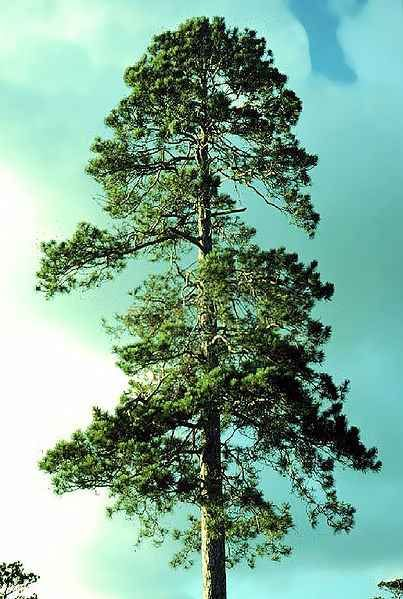 Red pine mature forest for the trees pinterest for Mature pine trees