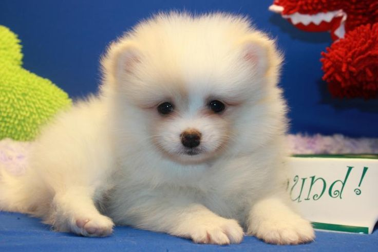 Cute White Fluffy Pomeranian Puppies | Car Interior Design