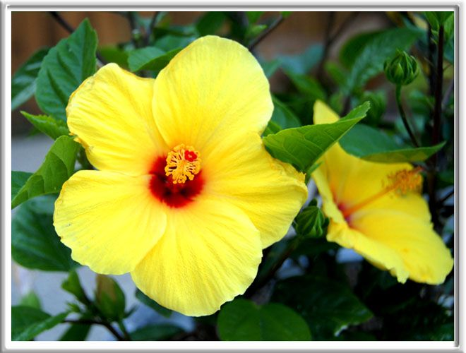 yellow hibiscus coloring pages - photo#39