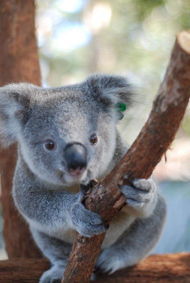 Happy baby koala - Pictures of koalas and baby koalas ...