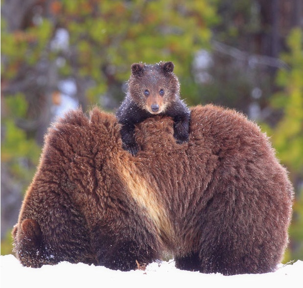 Baby Grizzly Bear Riding On Mom's Back   Nature's Best ...