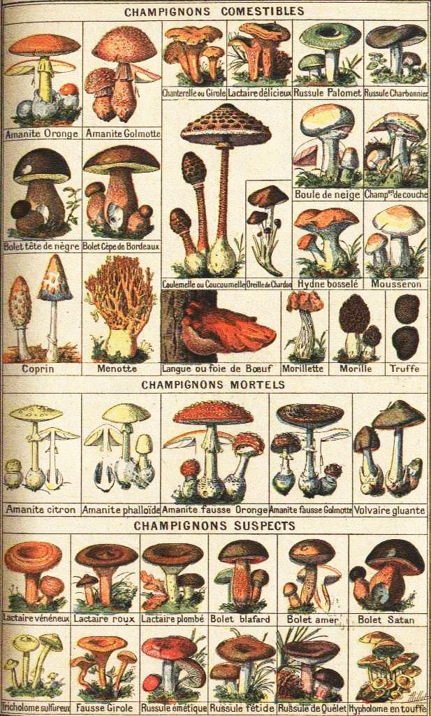 Gallery For gt Edible Mushrooms Chart