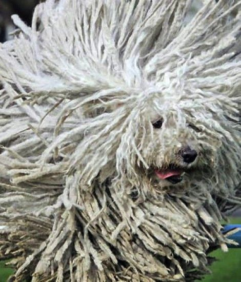 Komondor | Furry Friends | Pinterest