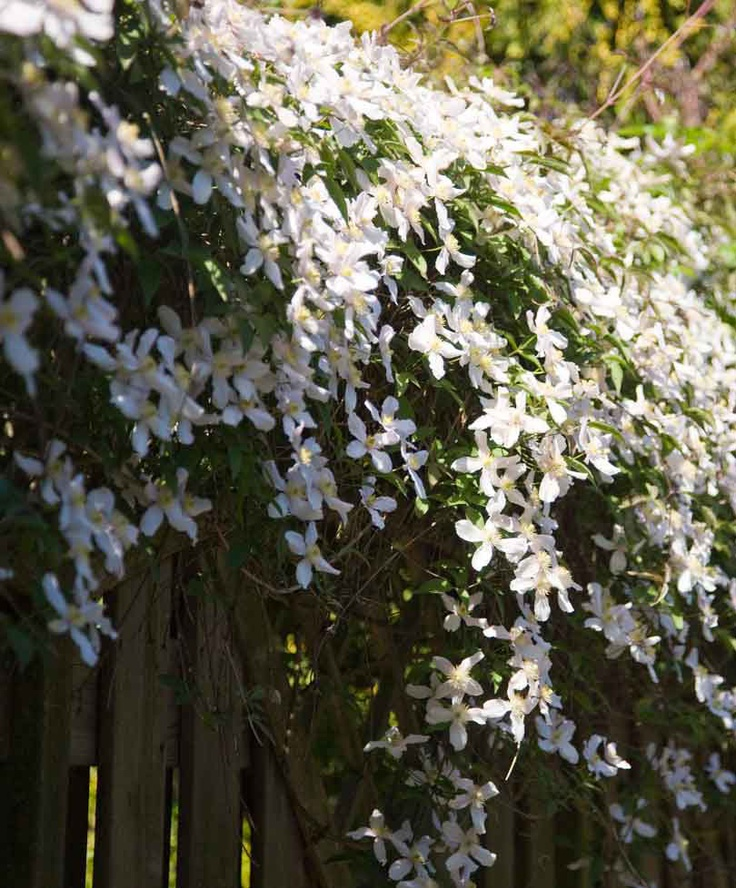 clematis montana var grandiflora my garden soon pinterest. Black Bedroom Furniture Sets. Home Design Ideas