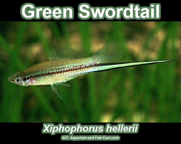 Green Swordtail Freshwater Aquarium Fish - Aquariumfische Pinter ...