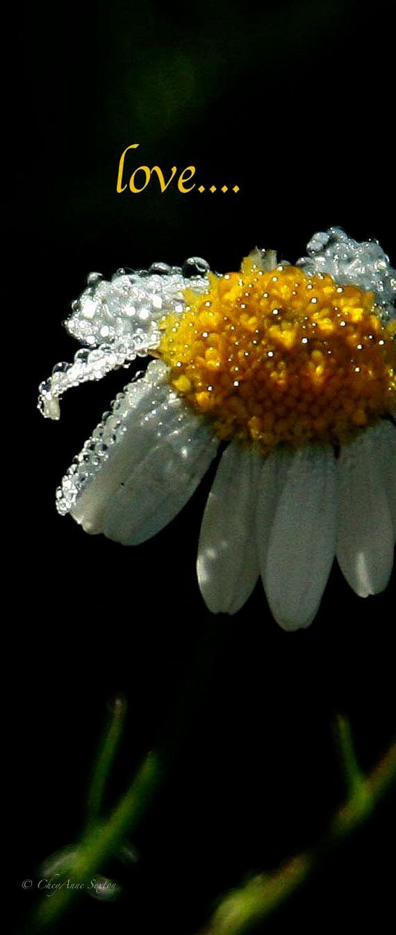 Daisy Love  Rainy dew drop sprakles  panoramic by CheyAnneSexton, $15.00