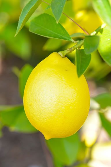 Meyer Lemon Marmalade | ESV recipes | Pinterest