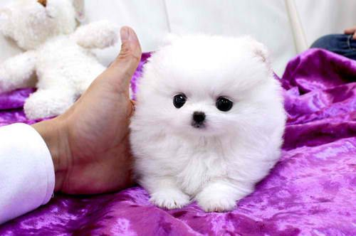 White Teacup Pomeranian Puppies White teacup pomeranian puppy