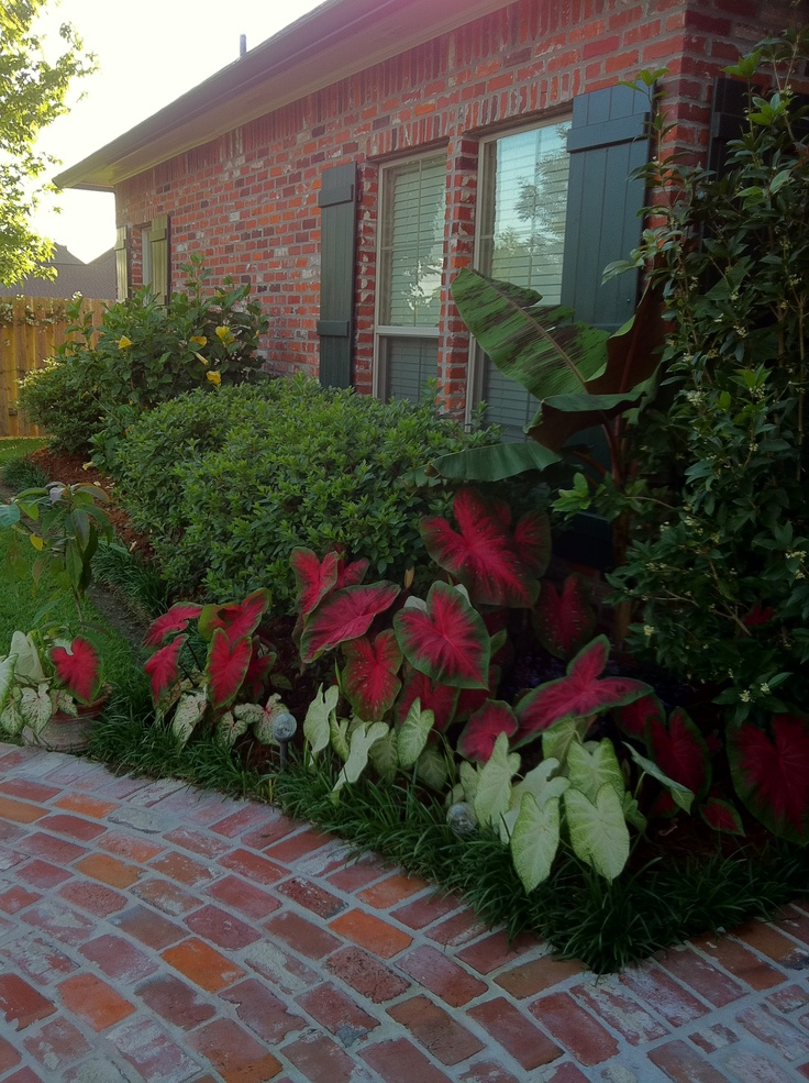 Caladiums make a nice addition to any flower bed. These are at least 3 ...