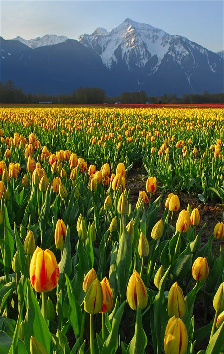 Fraser Valley, east of Vancouver. This was taken at a tulip farm located in Agassiz, with well known landmark Cheam Mountain in the background.