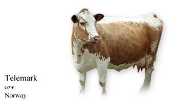 Telemark - cow - Norway
