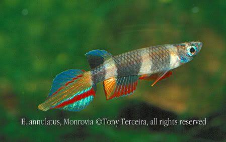 Clown Killifish Fish Tank Pinterest