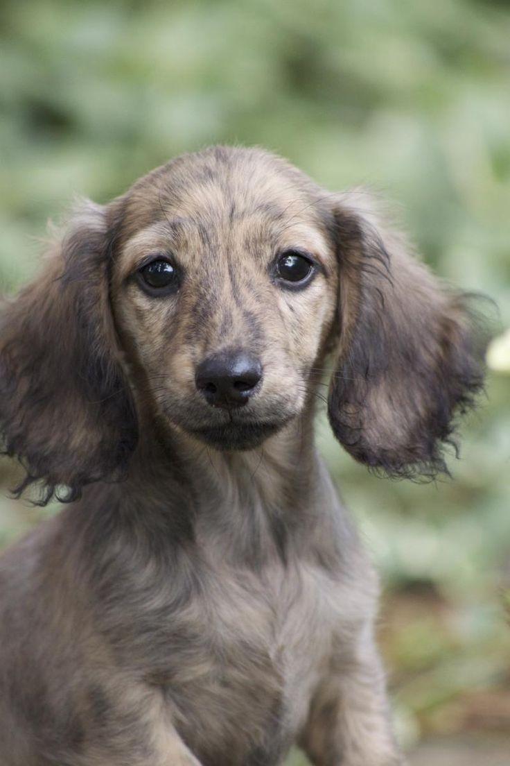 Cream Brindle Mini Dachshund | Puppies | Pinterest